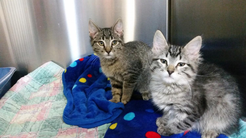 adoption kittens
